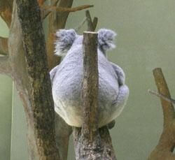 Koala_ushiro