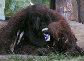 Orangutan_onecup